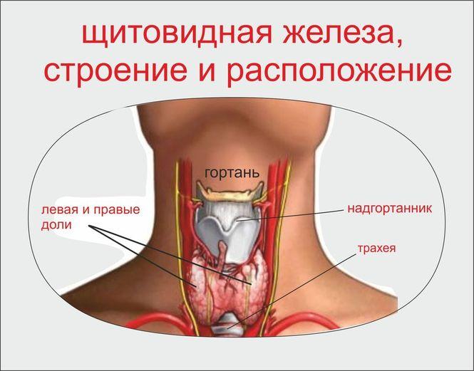 Щитови́дная железа́