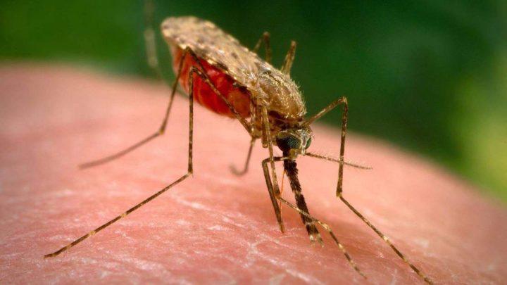 Малярия — откуда  в наших краях?